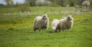 Pastando os carneiros brancos Rebanho dos carneiros no prado Fotografia de Stock Royalty Free