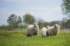 Pastando os carneiros brancos Rebanho dos carneiros no prado Foto de Stock