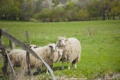 Pastando os carneiros brancos Rebanho dos carneiros no prado Fotos de Stock Royalty Free