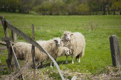Pastando os carneiros brancos Rebanho dos carneiros no prado Imagens de Stock