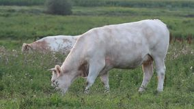 Pastando a vaca vídeos de arquivo