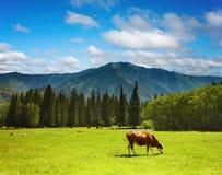 Pastando a vaca Imagens de Stock Royalty Free