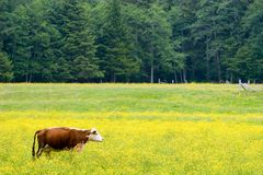 Pastando a vaca fotos de stock
