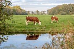 Pastando a vaca Imagens de Stock