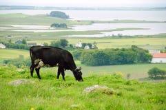 Pastando a vaca no prado Foto de Stock Royalty Free