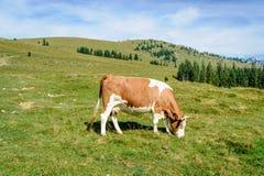 Pastando a vaca nos alpes Fotografia de Stock Royalty Free