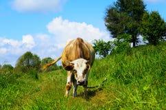 Pastando a vaca que olha na objetiva imagem de stock royalty free