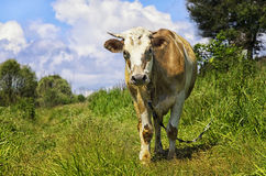 Pastando a vaca que olha na objetiva fotografia de stock royalty free