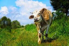 Pastando a vaca que olha na objetiva fotografia de stock