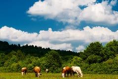 Pastando vacas Foto de Stock Royalty Free
