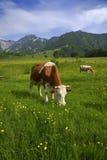 Pastando vacas imagens de stock