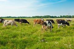 Pastando vacas Foto de Stock