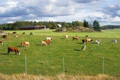 Pastando vacas Fotos de Stock Royalty Free
