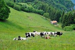 Pastando vacas Fotografia de Stock Royalty Free