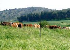 Pastando vacas Fotos de Stock