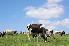 Pastando vacas de leiteria Foto de Stock