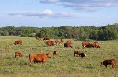 Pastando vacas e vitelas Imagens de Stock