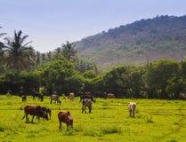 Pastando vacas em Goa, Índia Fotografia de Stock Royalty Free