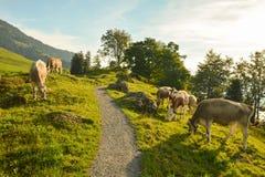 Pastando vacas em Seebodenalp acima da cidade de Kussnacht foto de stock