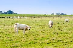 Pastando vacas em um campo Fotos de Stock Royalty Free