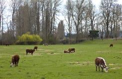 Pasto de vacas y de pastos verdes, Oregon. Imagen de archivo