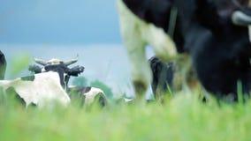 Pastando vacas no campo do verão Vaca que pasta no campo Gado que pasta vídeos de arquivo