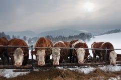 Pastando vacas no inverno Fotografia de Stock