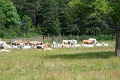 Pastando vacas no pasto da montanha, Itália Foto de Stock