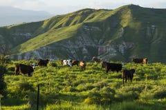 Pastando vacas nos prados nas montanhas no por do sol pelo lago Kinneret Foto de Stock
