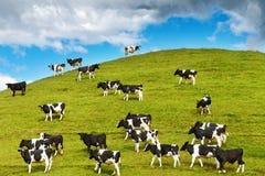 Pastando vitelas Fotos de Stock