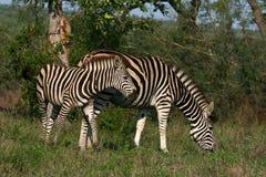 Pastando zebras Imagens de Stock Royalty Free