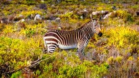 Pastando zebras na reserva natural do ponto do cabo imagem de stock royalty free