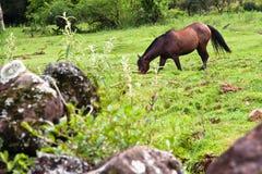 Pastar do cavalo Foto de Stock