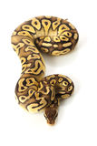 Pastave ball python Royalty Free Stock Images