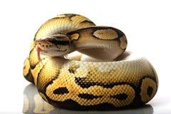 Pastave ball python. (Python regius) isolated on white background Stock Photo