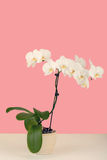 Paste color romantic branch of white orchid on beige background Royalty Free Stock Images