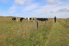 Paste con los toros negros/blanco manchados en Dinamarca imagenes de archivo