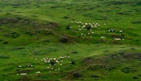 Paste el ganado en prado fresco imagen de archivo