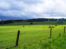 Paste na paisagem do campo com vacas e cerca Gras verdes Fotos de Stock