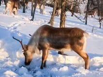 Paste para pastar una manada del reno imagen de archivo