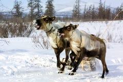 Paste para pastar una manada del reno fotografía de archivo libre de regalías