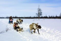 Paste para pastar una manada del reno Reno en Chukotka, cultivo de Chukchi fotos de archivo libres de regalías
