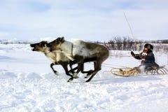Paste para pastar una manada del reno Reno en Chukotka, cultivo de Chukchi imagenes de archivo