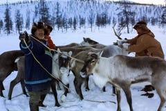 Paste para pastar una manada del reno Reno en Chukotka, cultivo de Chukchi fotografía de archivo