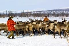 Paste para pastar una manada del reno Reno en Chukotka, cultivo de Chukchi imágenes de archivo libres de regalías
