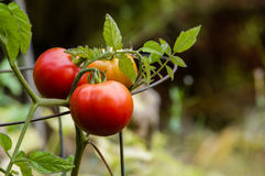 Paste or plum tomatoes in the garden Royalty Free Stock Images