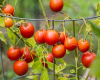 Paste or plum tomatoes in the garden Royalty Free Stock Photos