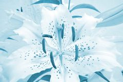 Pastel blue coloured lily Muscadet. Beautiful pastel blue coloured white, dotted lily Muscadet with blue stamens, close-up royalty free stock photo