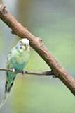 Pastel blue and yellow budgie bird on a tree branch Stock Photos