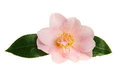 Pastel camellia Royalty Free Stock Photography